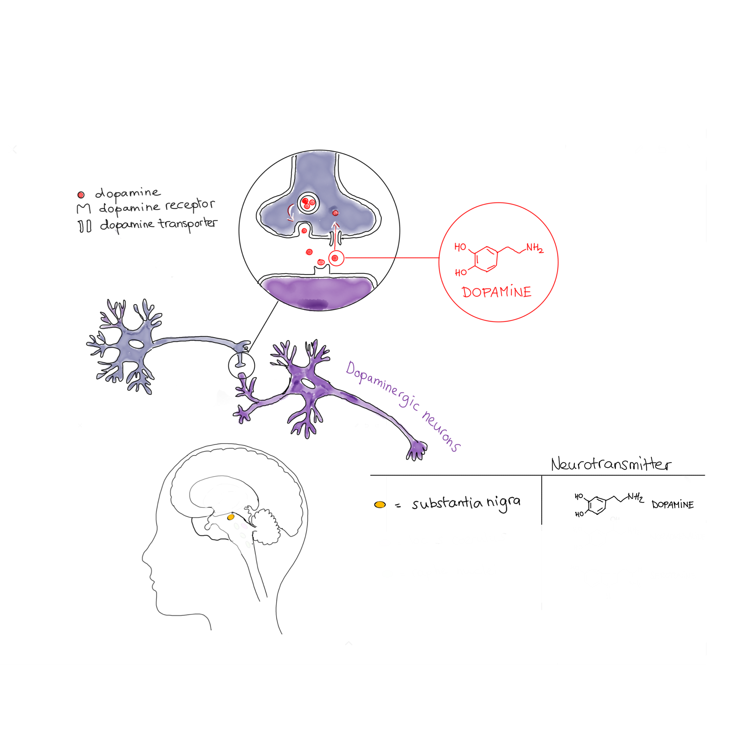 dopaminergic_ccby_sparks4pdvclinicaltrials